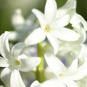 White Flowering Hyacinth