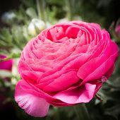 Buttercup Flowers Closeup