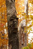 pic of fungus  - Some fungus on a tree in autumn - JPG