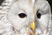 Face of a ural owl