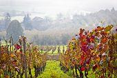 Vineyard In Autumn Fog View