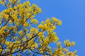 Bright Linden Blossom On Branches And Blue Sky