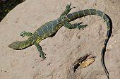 Lizard Taking Sun