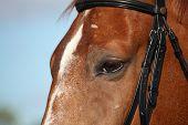 Chestnut Sport Horse Head Close Up In Summer