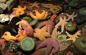 Постер, плакат: Оранжевый и фиолетовый морские звезды и морские анемоны
