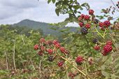 Blackberry Summer In The Mountains