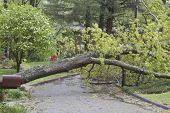 Wet Oak Tree Lies Across A Street