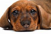 stock photo of pity  - close up Dachshund puppy on white background - JPG