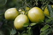 Fresh eco green tomatoes in the garden