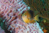 Threespot Damselfish And Sponge