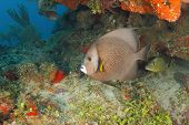 picture of angelfish  - Gray Angelfish on a Coral Reef  - JPG