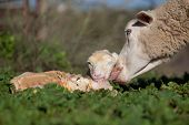 image of maternal  - Baby lamb and her maternal sheep mother just after the birth Extremadura Spain - JPG