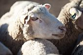 Sheep Head Closeup