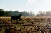 Semi-silhouette of red deer against light in autumnal park in late afternoon light.