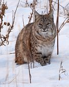 Bobcat Resting In Snow