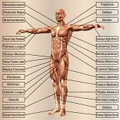 picture of oblique  - Concept or conceptual 3D male or human anatomy - JPG