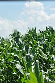 Field Corn. Leaves Of Corn On A Background Of The Sky. The Growth Of The Crop. The Maturation Of The