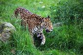 Jaguar Walking