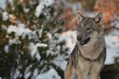stock photo of lupus  - Close up of an european grey wolf (canis lupus lupus) in winter.