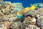 Heavybeak parrotfish