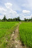 Green Rice Field In Thailand, Asia