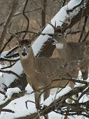 Pair of Whitetail Deer