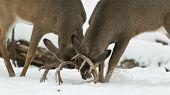 image of deer rack  - A pair of fighting deer during the early winter - JPG