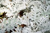Gray Leaf Of Dusty Miller