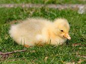 Gosling, Baby Domestic Goose