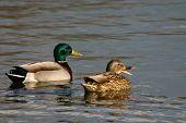 Mallard Pair Quacking