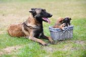 pic of belgian shepherd  - female dog of belgian shepherds malinois with puppies - JPG
