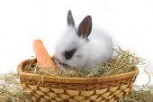 pic of midget  - small rabbit with carrot isolated on white background - JPG