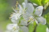 stock photo of stamen  - plum white macro spring blossoms with long stamens in garden - JPG