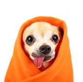 stock photo of tongue licking  - a cute chihuahua with his tongue hanging out and a blanket wrapped around him isolated on a while background in the studio - JPG
