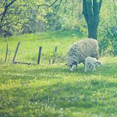 image of spring lambs  - Sheep and lamb on green field in spring - JPG