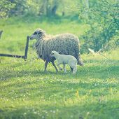 stock photo of spring lambs  - Sheep and lamb on green field in spring - JPG