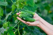 pic of cucumber  - Happy Young woman holding and holding cucumbers in a hothouse cultivated with green fresh cucumber plants - JPG