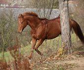 picture of chestnut horse  - Beautiful chestnut horse running alone in autumn - JPG