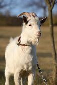 foto of goat horns  - Portrait of goat with horns in autumn - JPG