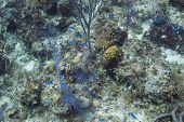 stock photo of damselfish  - School of blue chromis in bahamas reef - JPG