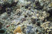 image of damselfish  - Lonely bicolor Damselfish in a coral reef - JPG