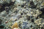 picture of damselfish  - Lonely bicolor Damselfish in a coral reef - JPG