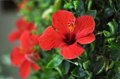 foto of hibiscus  - Red Hibiscus flower growing on a bush - JPG