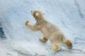 stock photo of baby bear  - The little polar bear baby goes up - JPG
