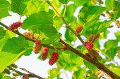 foto of mulberry  - Fresh ripe mulberry berries on tree  - JPG