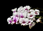 picture of orquidea  - Bunch of Orchids on black background - JPG