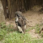 picture of copulation  - Giant Anteater  - JPG
