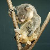 stock photo of koalas  - Portrait of male Koala bear sitting on the tree - JPG