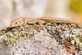 image of lichenes  - Sand lizard  - JPG
