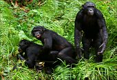 Bonobo Love. 2 Xxx